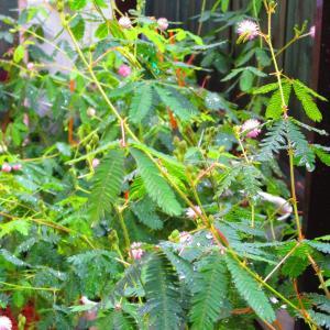 今朝のオジギソウの花は79輪です♬