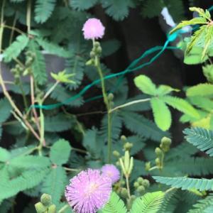 今朝のオジギソウの花は17輪咲きました
