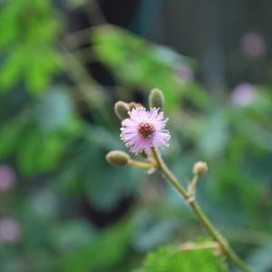 今朝のオジギソウの花は32輪です