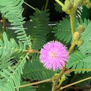 今朝のオジギソウの花は1輪です♬