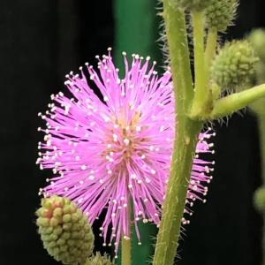今朝のオジギソウの花は