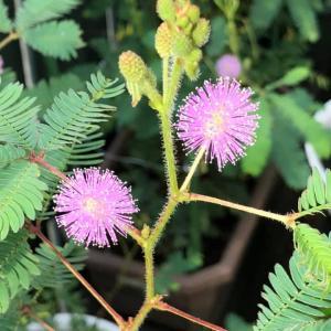 今朝のおじぎそうの花は15輪