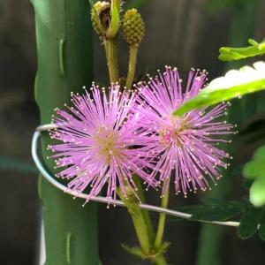 今朝のオジギソウの花は20輪