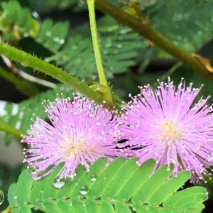 今朝のオジギソウの花は29輪です