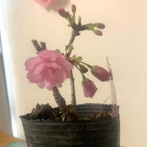 桜が咲きました!サクラサク〜アニバと、みてみて〜。