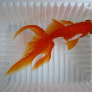金魚紹介 その2
