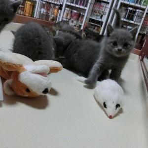 シャルトリューの子猫たち