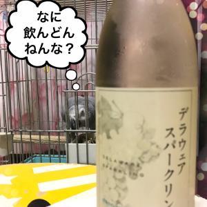 ヨウムの悪ガキちゃん、ワインがちょっと気になる?