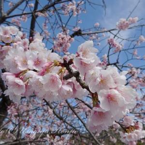 鶴岡八幡宮の桜*ヒヨドリと若宮大路の桜*