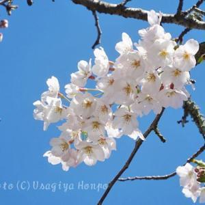 鎌倉*光則寺の桜(ソメイヨシノ)*黄色が可愛いミツマタ