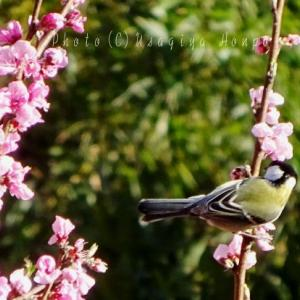 鎌倉の野鳥*シジュウカラと桃の花*四十雀の蜜吸い
