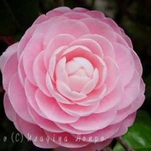 鶴岡八幡宮*乙女椿*オトメツバキの花