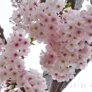 若宮大路*段葛の桜*ソメイヨシノ