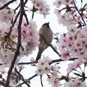 桜に留まるあの鳥は....*下馬四ツ角*野鳥