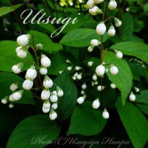 庭の花*ウツギ(空木)のつぼみ*楚々とした白い小花*