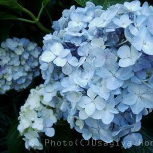 山のあじさい*紫陽花*梅雨の癒し*鎌倉*自然なまま