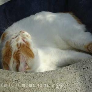 ウサギかキツネに化けそうな猫のアクビ*年越し猫