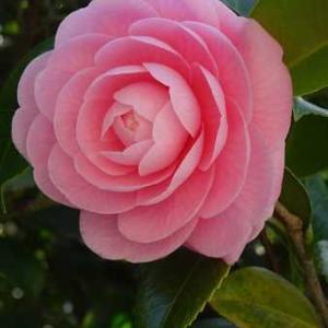鶴岡八幡宮*乙女椿と桜とミモザの3つ咲く3月中旬