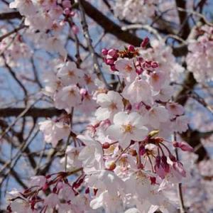 鎌倉本覚寺の枝垂桜が満開*しあわせ地蔵さまの頭巾は....2021