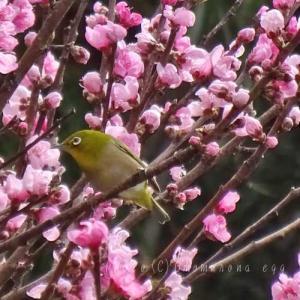鎌倉の野鳥*メジロと桃の花*蜜吸い小鳥