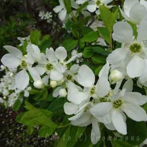 おんめさまで利休梅や椿の花を眺める*大巧寺*乙女椿