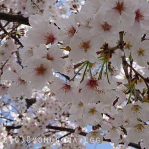 段葛のソメイヨシノ*鶴岡八幡宮参道の桜*まだら鳩の足は....