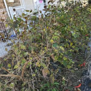 桑の木を挿し木に〜(o^^o)