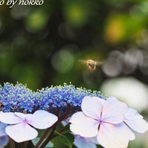 今年の庭の紫陽花たち