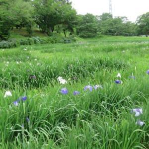 多賀城あやめ園