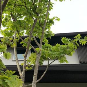台風で折れてしまったシンボルツリーを自己修復して・・・その翌春、こうなりました。