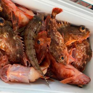 ガシラ大漁です‼️