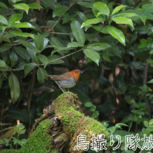 今季初撮り コマドリ/Japanese Robin