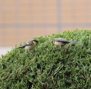 庭にシジュウカラ 若鳥