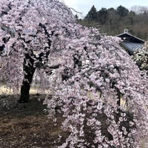 教善寺(大三島宮浦)さんの枝垂れ桜
