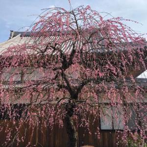 枝垂れ梅が満開に