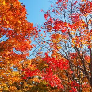 秋晴れの農村風景と紅色がきれいな「美術村庭園」の紅葉。