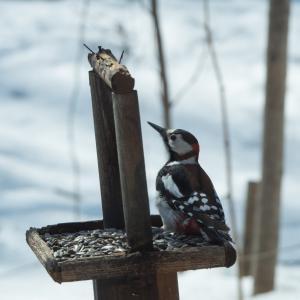 春の陽気が全開!ペンギンみたいな?アカゲラさんも日向ぼっこ!