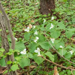 オオバナノエンレイソウ、シラネアオイ・・春の山野草が見ごろです。
