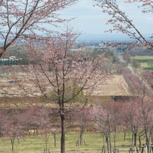 """中札内の農村風景も春本番""""桜六花公園""""のサクラも開花。"""