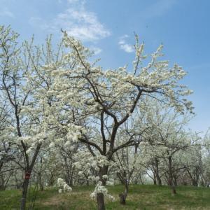 「すももの里公園」白いスモモの花が咲き始めました!