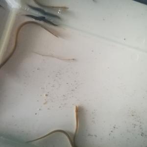 鰻の稚魚を…