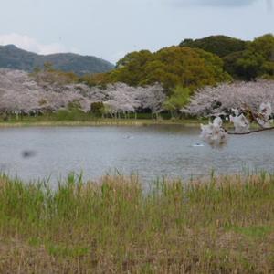 桜は、満開、、、