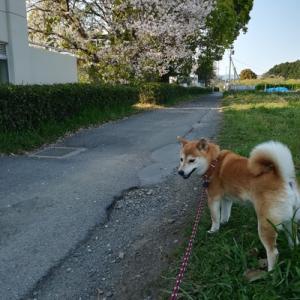 桜も散り散り〜