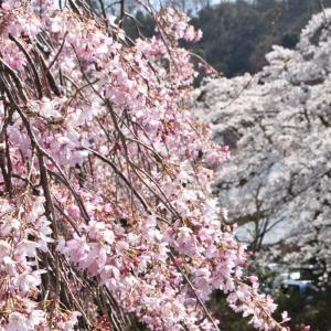 箱根の桜で癒されて下さいませ!
