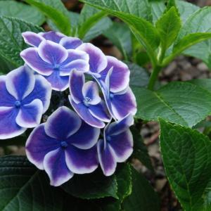 梅雨の時期に癒してくれる紫陽花のあるガーデン!