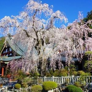山梨県内の桜の名所巡りツーリング2020(前編)