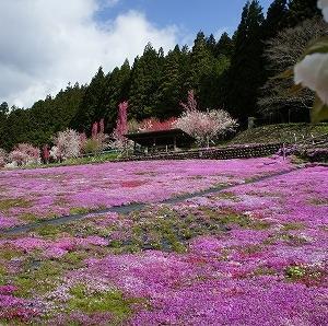2021 國田家の芝桜と荘川桜ツーリング2(國田家の芝桜)