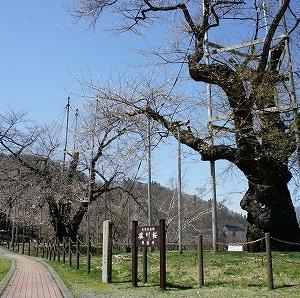 2021 國田家の芝桜と荘川桜ツーリング5(荘川桜)