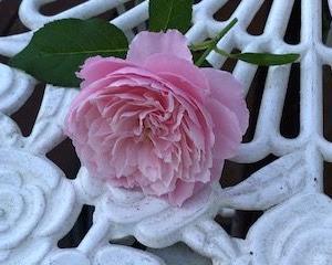 暑すぎる季節の薔薇と観葉植物