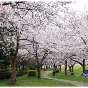 ご近所散歩で今年の桜見納め